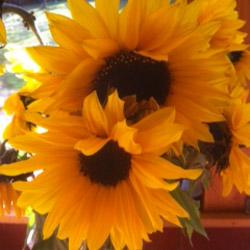 Sunflower bouqet